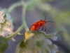 red-bug
